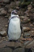 Humboldt Penguin - Spheniscus humboldti — Stock Photo