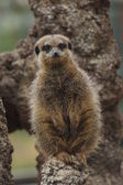 Meerkat - Suricata suricatta — Stock Photo