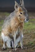 Patagonian Mara - Dolichotis patagonum — Stock Photo