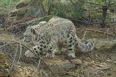 Snow Leopard - Pantheria uncia — Stock Photo
