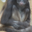 Variegated Spider Monkey - Ateles hybridus — Stock Photo #40032497