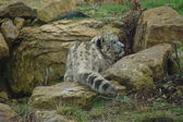 Snow Leopard - Pantheria uncia — Stock Photo