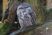 Tawny Frogmouth - Podargus strigoides — Stock Photo