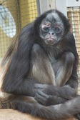 Variegated Spider Monkey - Ateles hybridus — Stock Photo