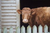 Farmyard Imagery - Cattle - Bos primigenius — Stock Photo