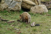 Ring-tailed Coati - Nasua nasua — Photo