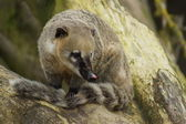 Ring-tailed Coati - Nasua nasua — Stock Photo