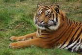 Tigre de sumatra - panthera tigris sumatrae — Foto de Stock