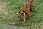 Sumatran Tiger - Panthera tigris sumatrae — Photo