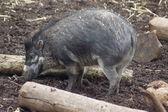 Visayan vårtliknande gris - sus cebifrons — Stockfoto