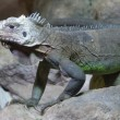 Lesser Antilles Iguana - Iguana delicatissima — Stock Photo #47699277