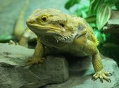 Central Bearded Dragon - Pogona vitticeps — Stock Photo