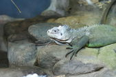 Lesser Antilles Iguana - Iguana delicatissima — Stock Photo