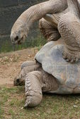 Mating Pair of Aldabra Giant Tortoise - Aldabrachelys gigantea — Stock Photo