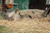 Images from the Farmyard - Sleeping Pig — Stock Photo