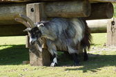 Domestic Goat - Capra aegagrus hircus — Stock Photo