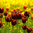 Постер, плакат: Field Of Fire Red Tulips