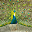 Stock Photo: Blue Peafowl, Pavo cristatus