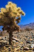 Wüste kaktus — Stockfoto