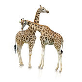 Giraffes Standing Together — Stock Photo