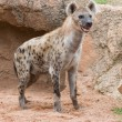 Spotted Hyena — Stock Photo #13768337