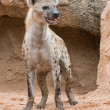 Spotted Hyena — Stock Photo #13768355