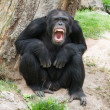 Angry Chimpanzee - Stock Photo