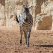 Zebra In Wild — Stock Photo