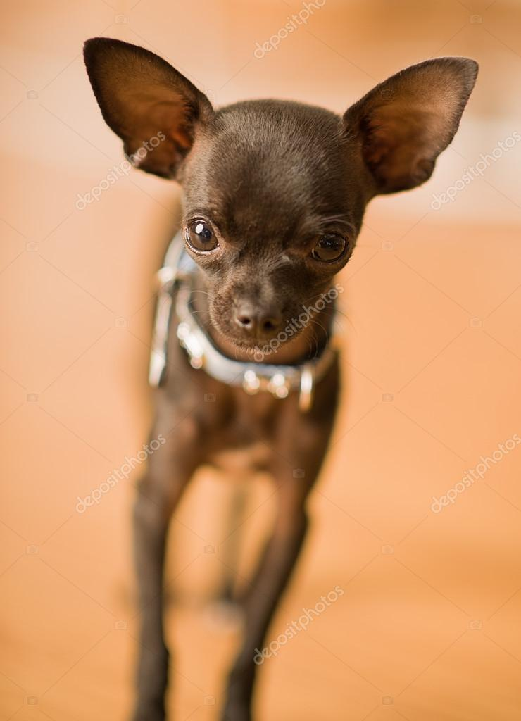 Cute black chihuahua dog — Stock Photo #20993243