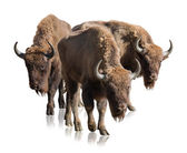 Group Of Bisons — Stock Photo