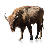 Portrait Of Bison — Stock Photo