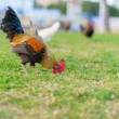 Rooster grazing in park - Stock Photo