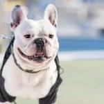 Portrait Of Bull Dog — Stock Photo