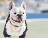 Portrait Of Bull Dog — Stock Photo