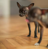 Jovem chihuahua — Fotografia Stock