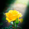 Stock Photo: Beautiful rose outdoor