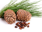 Cedar cones with nuts — Photo