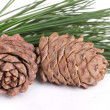 Stock Photo: Cedar cones