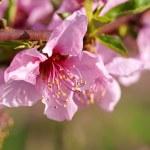 Peach blossoms — Stock Photo