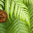Stock Photo: New Zealand fern koru