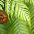 New Zealand fern koru - Stock Photo