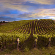 Stock Photo: Vineyard at dawn