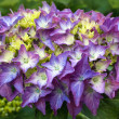 Hydrangea flower closeup, vibrant colour — Stock Photo