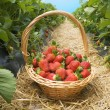 Strawberries in the basket in the field - Stock Photo