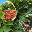 Stock Photo: Strawberry basket field