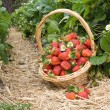 Strawberries in the basket in the field — Stock Photo