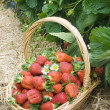 Stock Photo: Strawberries in the basket in the field