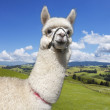 Alpaca on the picturesque landscape background - Stock Photo
