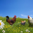 ������, ������: Free range chickens on green meadow