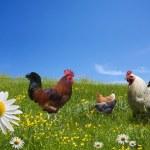 Постер, плакат: Free range chickens on green meadow
